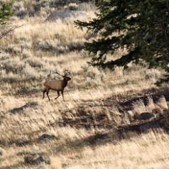 Bull Elk During the Fall Rut