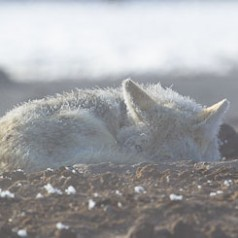 Frosted Coyote