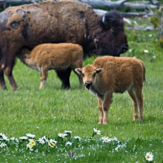 Bison Calves Amongst Daisies