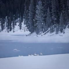 Flock of Winter Trumpeter Swans