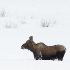 Moose in Really Deep Snow