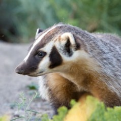 Young Badger Profile
