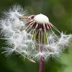Dandelion Dispersal System