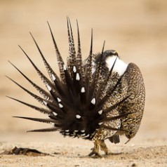 Sage Grouse Mating Display-9