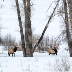 Wintering Bull Elk