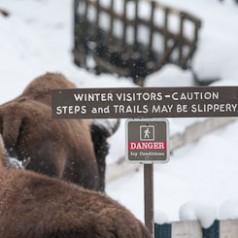 Cautious Bison