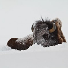 Bull Bison in Heavy Snow
