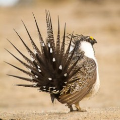 Sage Grouse Mating Display-10