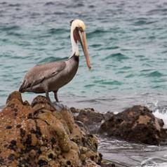 Pelican on Rocks