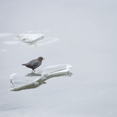 Dipper on Ice