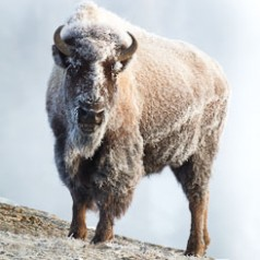 Frosted Bison in Snow