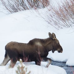 Young Moose in Winter