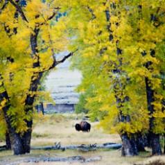 Bison Framed by Cottonwoods