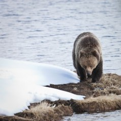 Grizzly Bear at Twin Lake