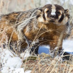 Winter Badger