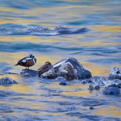 Paired Harlequin Ducks