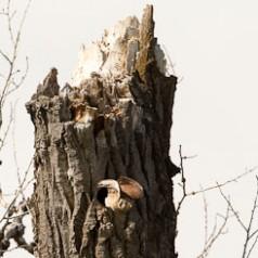 American Kestrel Female Exiting Nest Cavity