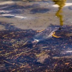 Goldeneye Swimming Under Water