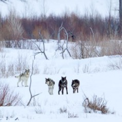 Lamar Canyon Wolf Pack In WInter