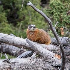 Marmot Habitat