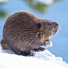 Admirable Beaver