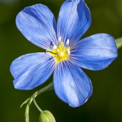 Blue Flax Macro