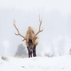 Bull Elk in Snowstorm