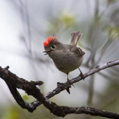 Excited Ruby-Crowned Kinglet