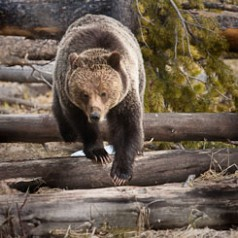 Grizzly Walking on Deadfall