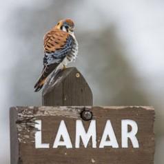 Kestrel on Lamar