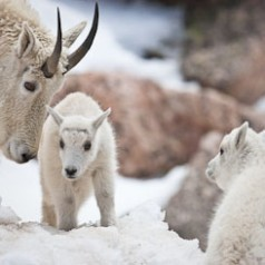 Month Old Mountain Goat Kids