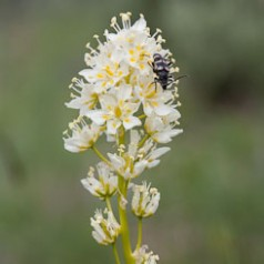 Death Camas and Insect