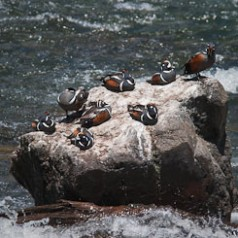 Eight Harlequin Ducks