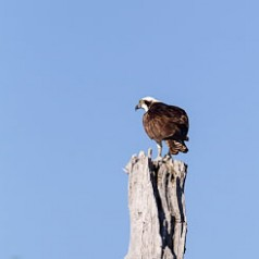 Osprey Watching and Waiting