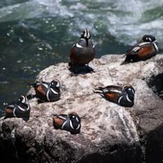 Six Harlequin Ducks
