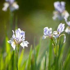 Wild Iris Blue Flag