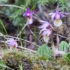 Calypso Orchid Fairy Slipper