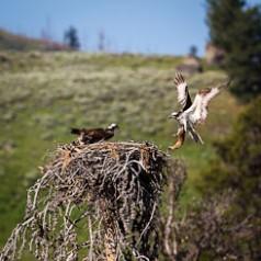 Osprey Delivering Trout