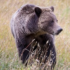 Grizzly Autumn Fattening