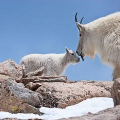 Mountain-Goat-Kid-Kiss.cr2