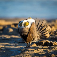 Sage Grouse Mating Display-2