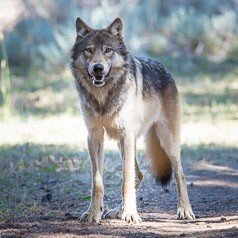 Gray Wolf in Pelican Valley