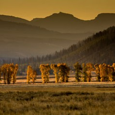 Lamar Valley Cottonwoods