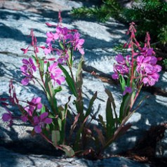 Fireweed in Granite