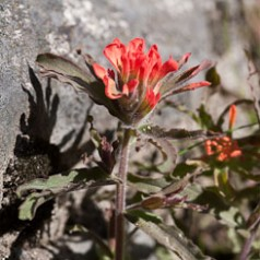 Scarlet Indian Paintbrush