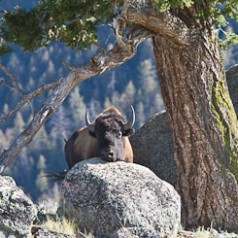 Bison, Rock, Tree
