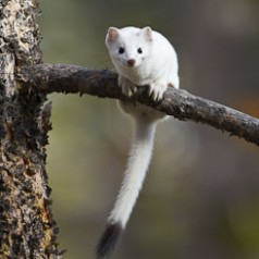 Early White Weasel