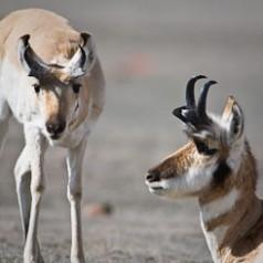 Antelope Study
