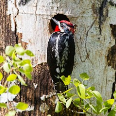 Red-naped Sapsucker Framed by Cavity Hole