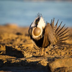 Sage Grouse Mating Display-3